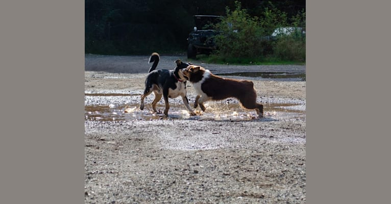 Photo of Klutch, an Australian Shepherd Group  in Champion, Alberta, Canada