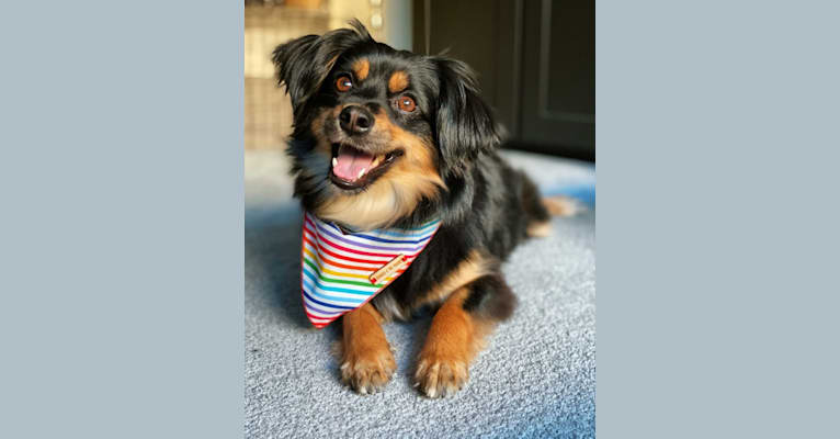 Photo of Tobi, a Pomeranian, Chihuahua, Poodle (Small), and Mixed mix in SF, California, USA