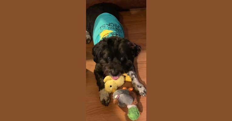 Photo of Chessie, a Bichon Frise, Lhasa Apso, Australian Shepherd, and Mixed mix in Maryland, USA