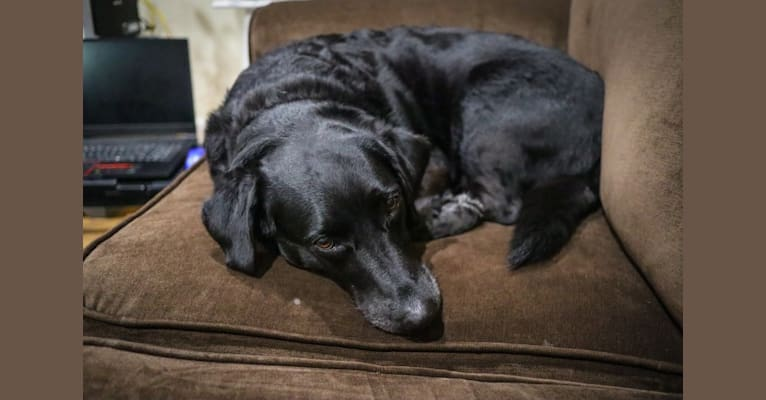 Photo of Charlie, a Labrador Retriever and Mixed mix in Wheaton-Glenmont, Maryland, USA