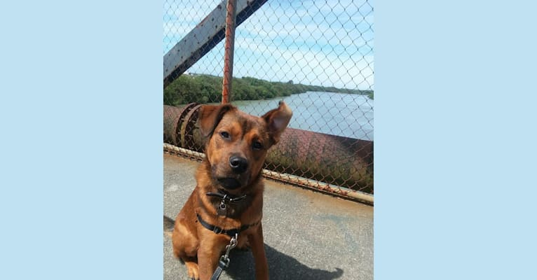 Photo of Oso, a Rottweiler and American Pit Bull Terrier mix in McKinleyville, California, USA