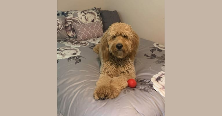 Photo of Aurora, a Goldendoodle  in Jefferson City, MO, USA