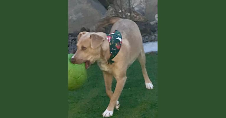 Photo of Bowie, an American Pit Bull Terrier, Labrador Retriever, American Staffordshire Terrier, and Rottweiler mix in Nevada, USA