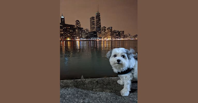Photo of Moomoo, a Maltese and Pomeranian mix in Kentucky, USA