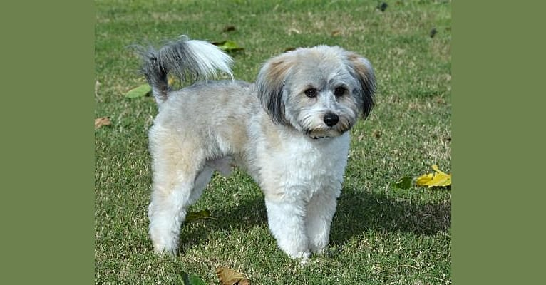 Photo of Sheldon, a Miniature Schnauzer, Pomeranian, and Pug mix in Abilene, Texas, USA