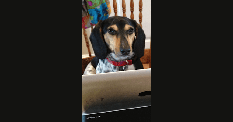 Photo of Bandit, a Dachshund (12.1% unresolved) in North Carolina, USA