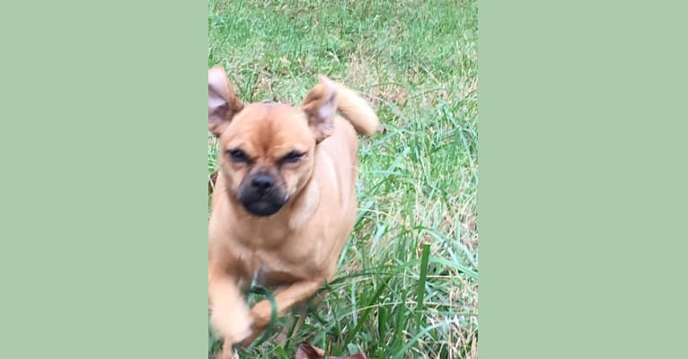 Photo of Izit, a Russell-type Terrier and Pug mix