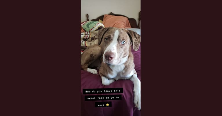 Photo of Theodore, a Labrador Retriever, Catahoula Leopard Dog, Border Collie, and Mixed mix in Merryville, Louisiana, USA