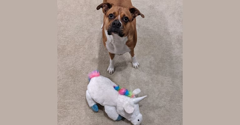 Photo of Ellie, a Boxer, American Pit Bull Terrier, and Mixed mix in San Jacinto, California, USA