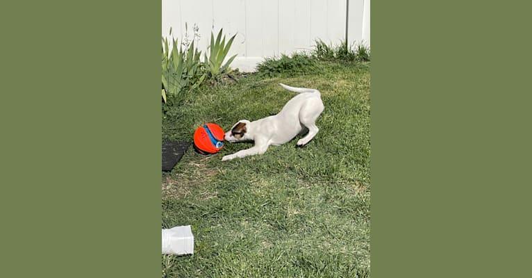 Photo of Rhett, an American Pit Bull Terrier, Labrador Retriever, and Australian Cattle Dog mix in Nampa, Idaho, USA