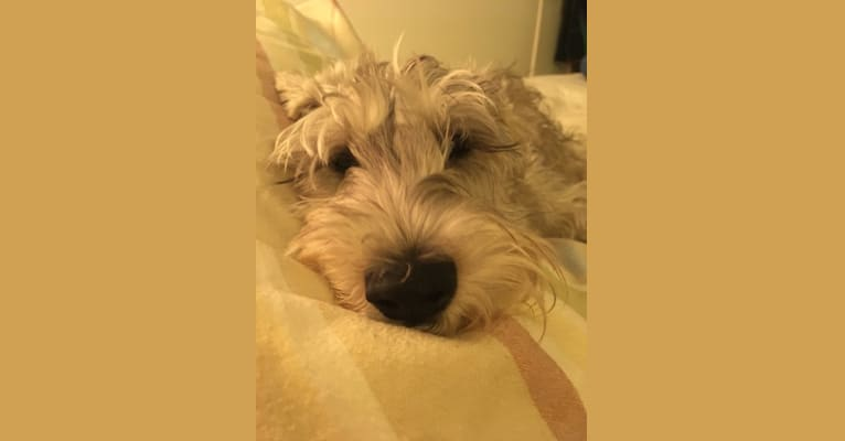 Photo of Ike, a Miniature Schnauzer, Poodle (Small), and Mixed mix in Los Angeles, California, USA