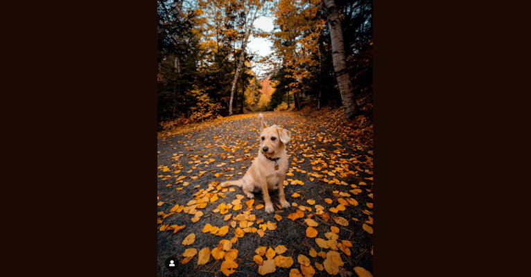 Photo of Macy, a Labrador Retriever, Poodle (Small), Beagle, Lhasa Apso, German Shepherd Dog, and Mixed mix in Nova Scotia, Canada
