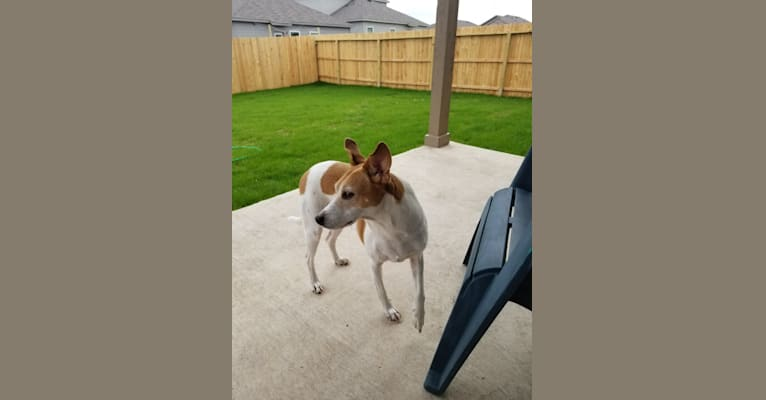 Photo of Jax, a Rat Terrier, Toy Fox Terrier, Great Pyrenees, Australian Cattle Dog, and Mixed mix in San Antonio, Texas, USA