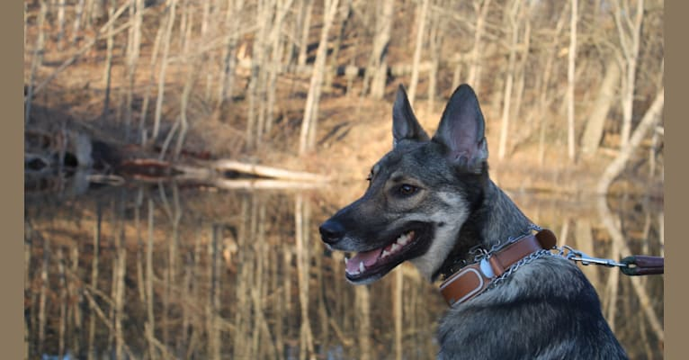 Photo of Indigo, a German Shepherd Dog, Belgian Malinois, Australian Shepherd, and Australian Cattle Dog mix