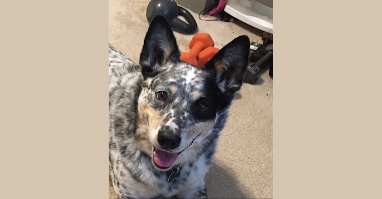Photo of Lottie, an Australian Cattle Dog and Border Collie mix