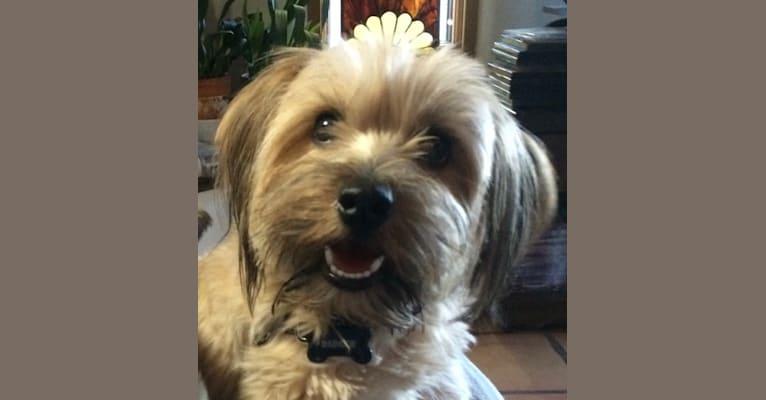 Photo of Badger Simerdowns McKenna Schnickelfritz, a Norfolk Terrier  in Parker, Colorado, USA