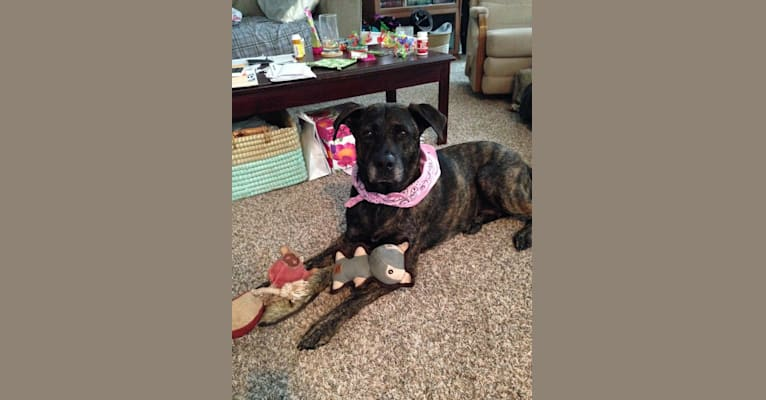 Photo of Tatum, an American Pit Bull Terrier, American Staffordshire Terrier, Akita, and Chow Chow mix in Indianapolis, Indiana, USA