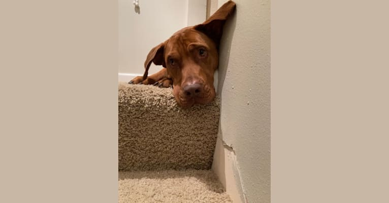 Photo of Charlie, a Boxer, Chow Chow, Australian Shepherd, American Pit Bull Terrier, Labrador Retriever, and Redbone Coonhound mix in Iowa, USA