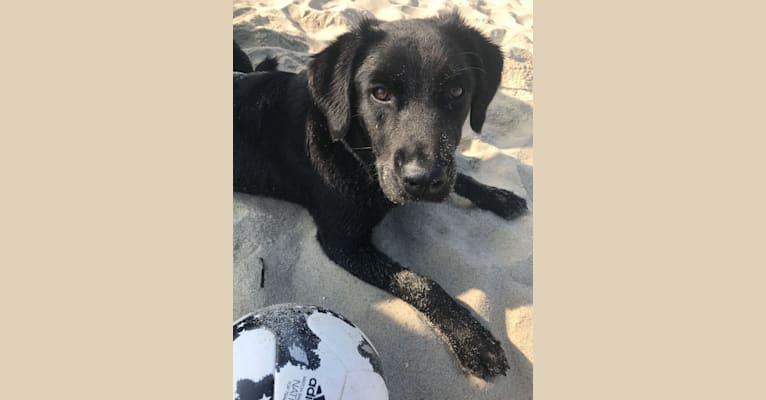 Photo of Lulu, a Labrador Retriever, Chow Chow, Weimaraner, Australian Cattle Dog, and Mixed mix
