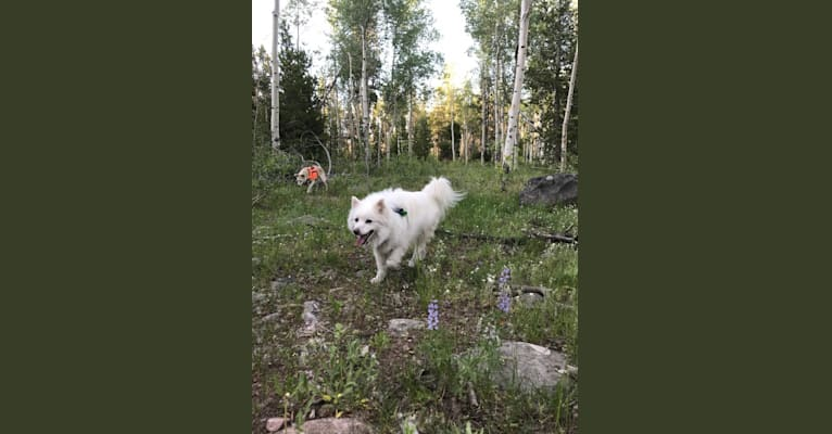 Photo of Orion Odell, an American Eskimo Dog  in Rolla, Missouri, USA