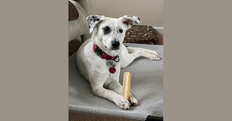Photo of Gracie, an Australian Cattle Dog, American English Coonhound, Bluetick Coonhound, and Mixed mix in Chattanooga, Tennessee, USA