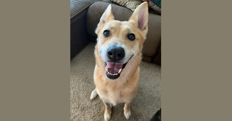 Photo of Phoebe, a German Shepherd Dog, American Pit Bull Terrier, and Mixed mix in Devore Animal Shelter, Shelter Way, San Bernardino, CA, USA