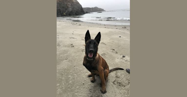Photo of Zion, a Belgian Shepherd  in Washington, USA