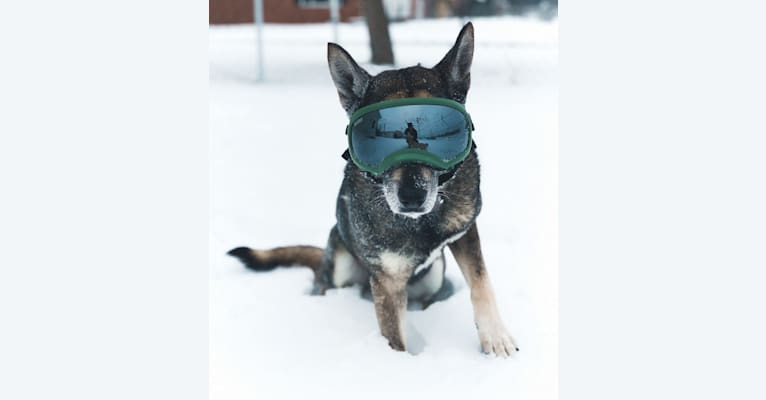 Photo of Gus, a Norwegian Elkhound, German Shepherd Dog, and Russell-type Terrier mix in Marlinton, WV, USA