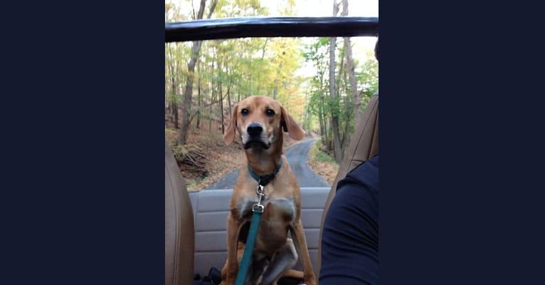 Photo of Charlie, an American Foxhound mix in Gastonia, North Carolina, USA