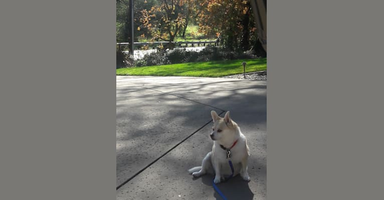 Photo of Minnie, a Pomeranian, Rat Terrier, Chihuahua, and Mixed mix in California, USA