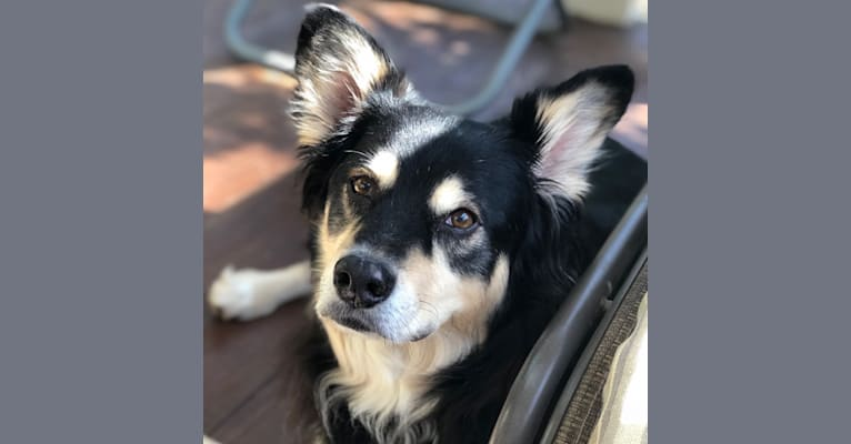 Photo of Jasper, an American Pit Bull Terrier, Australian Shepherd, Alaskan Malamute, and Mixed mix