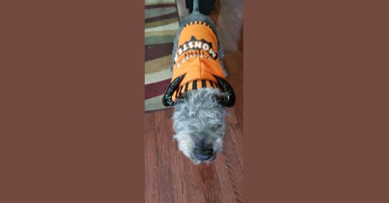 Photo of omar, a Lakeland Terrier  in Missouri, USA
