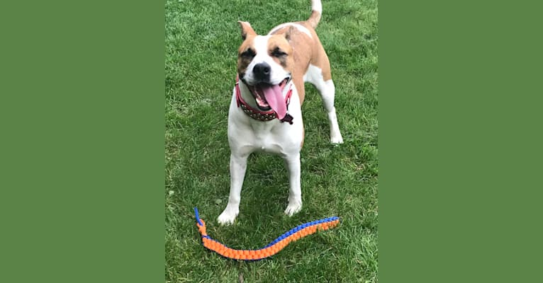 Photo of Gracie, an American Pit Bull Terrier, Australian Cattle Dog, Boxer, and Mixed mix