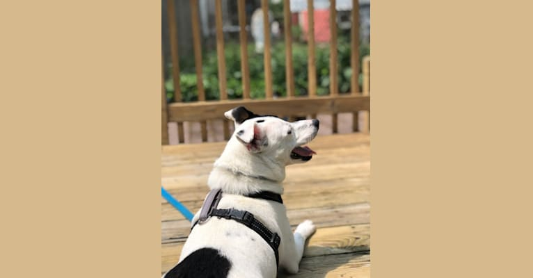 Photo of Phoebe, a Russell-type Terrier, Siberian Husky, American Bulldog, and Mixed mix in Massachusetts, USA