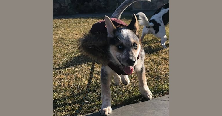 Photo of Flora, an Australian Cattle Dog, Siberian Husky, Alaskan Malamute, and German Shepherd Dog mix in Texas, USA