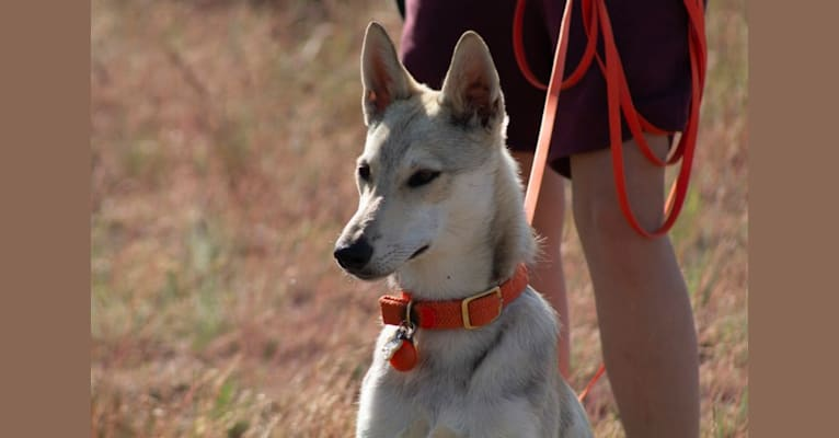 Photo of Tesota, a West Siberian Laika, Alaskan Malamute, and Irish Wolfhound mix in Carson, NM, USA