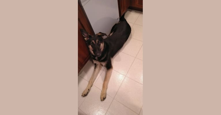 Photo of Zeus, a German Shepherd Dog  in Ohio, USA