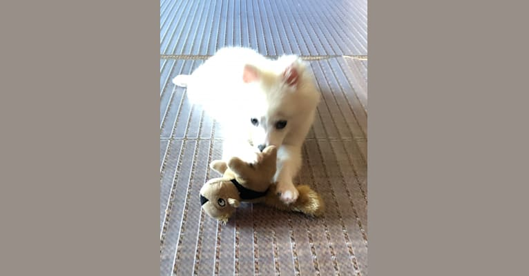 Photo of Schlott, an American Eskimo Dog  in Missouri, USA