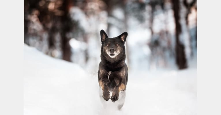 Photo of Mowgli, a Labrador Retriever, Alaskan Malamute, and German Shepherd Dog mix in Québec, Canada