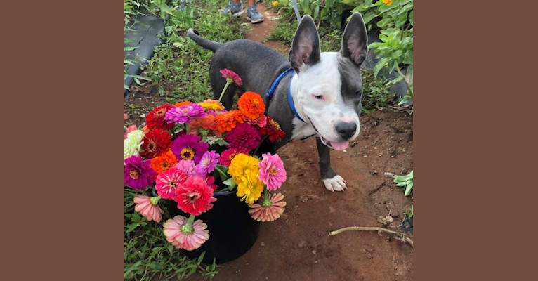 Photo of Ollie, an American Bully  in Trenton, NJ, USA