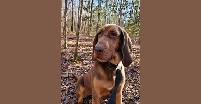 Photo of Penny, a Bloodhound  in North Carolina, USA