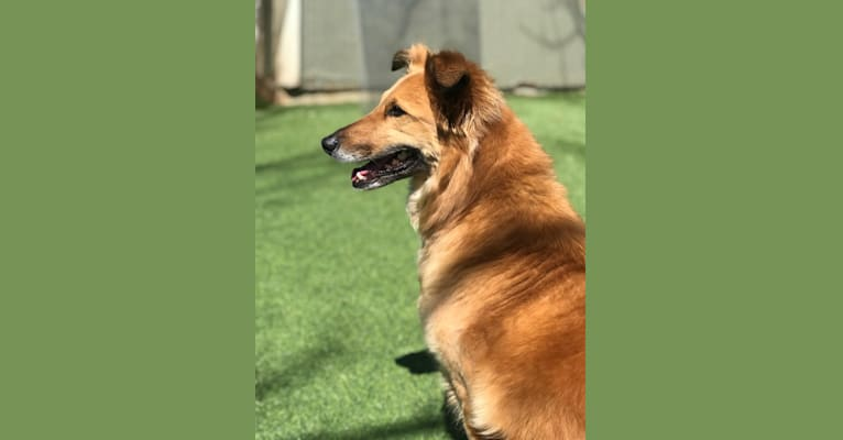 Photo of Mariska, a Collie, German Shepherd Dog, Poodle (Small), Australian Cattle Dog, Chow Chow, and Mixed mix in New Mexico, USA