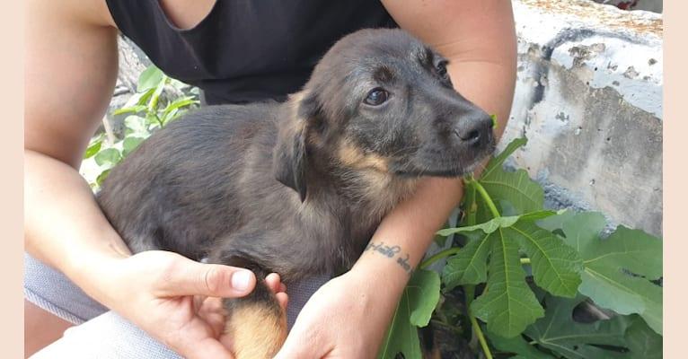 Photo of Ajka, an Eastern European Village Dog  in Koper, Koper, Slovenia