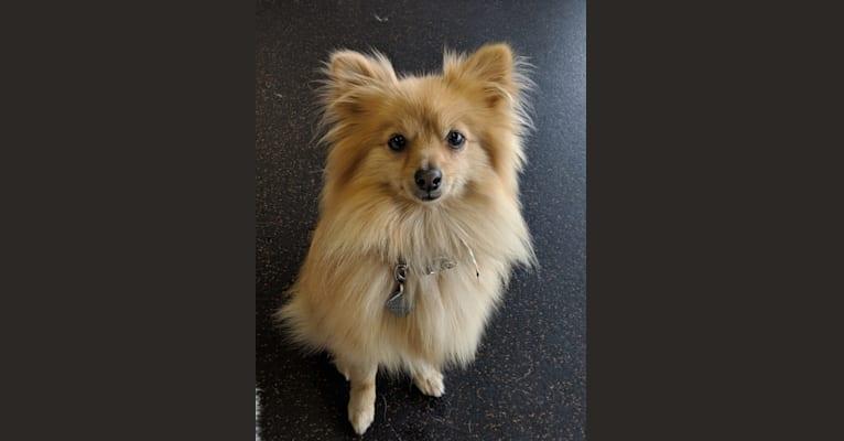 Photo of Luther, a Pomeranian  in Wichita, Kansas, USA