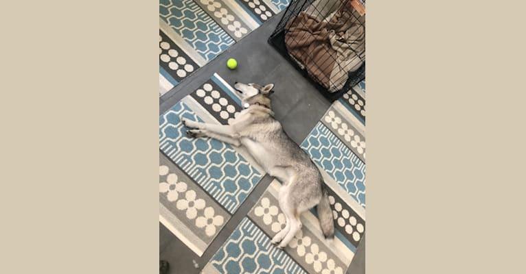 Photo of Ember, a Siberian Husky  in Los Angeles, California, USA