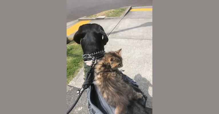 Photo of Calvin, a Great Dane, Saint Bernard, and Mastiff mix in Yelm, WA, USA