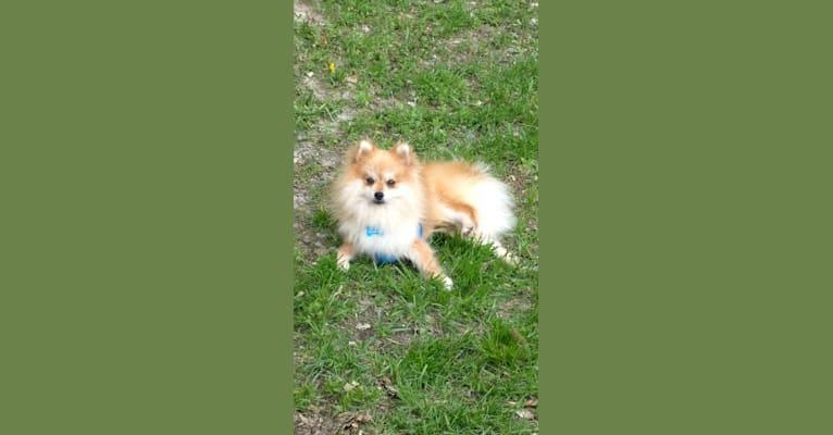 Photo of Buddy, a Pomeranian  in Ashland, Missouri, USA