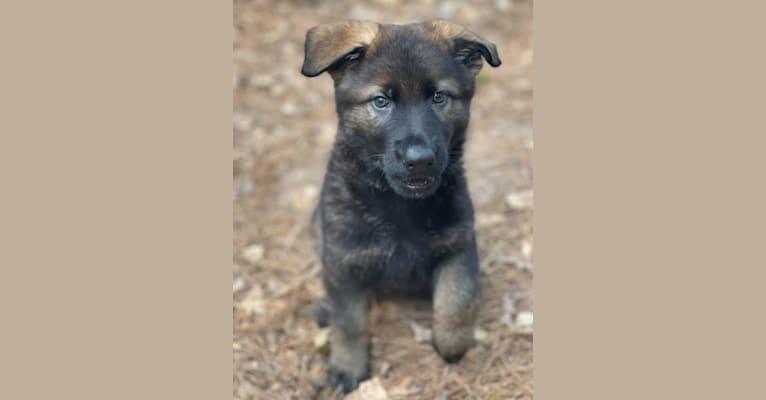 Photo of Runa, a German Shepherd Dog