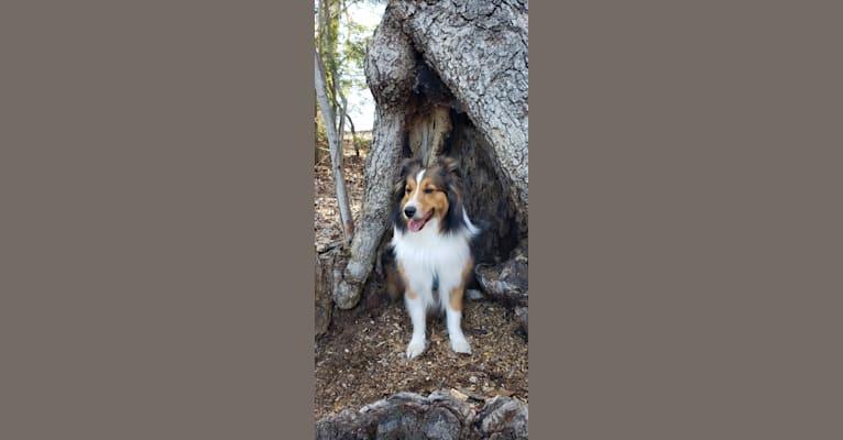Photo of Jack, a Shetland Sheepdog  in Springville, New York, USA