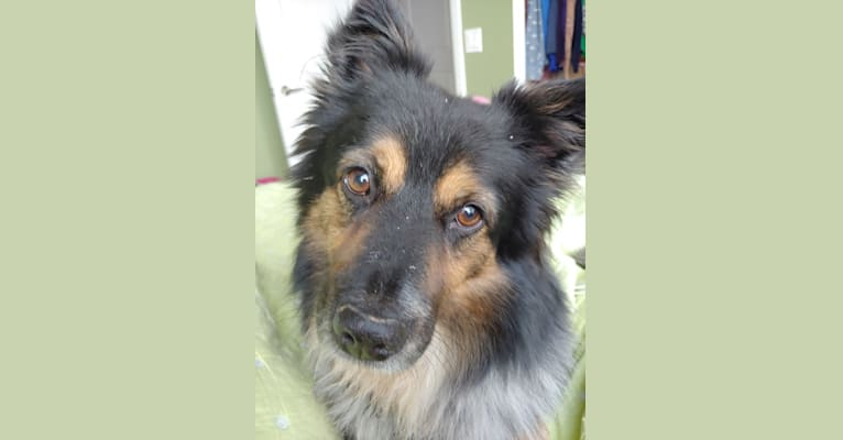 Photo of Quigley, an Australian Cattle Dog, Saint Bernard, Collie, American Eskimo Dog, Chow Chow, and Mixed mix in West Virginia, USA